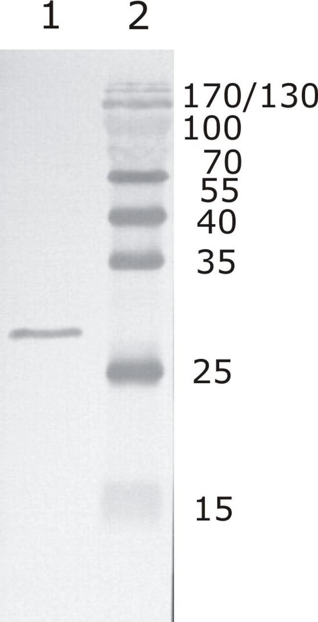 HIV1 Rev Group M Antibody (MA1-71514)