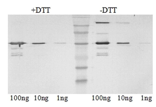 SIV nef Antibody (MA1-71522)
