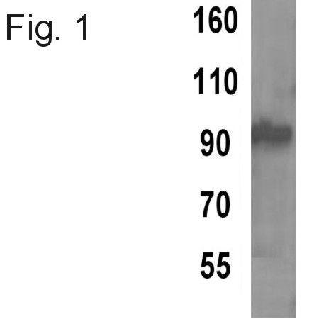 TPX2 Antibody (MA1-802) in Western Blot