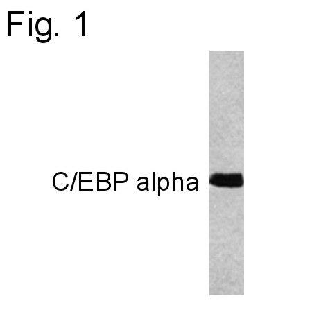 C/EBP alpha Antibody (MA1-825)