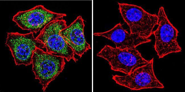 PLK1 Antibody (MA1-848) in Immunofluorescence