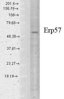ERp57 Antibody (MA1-90869)