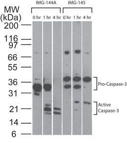 pro-Caspase 3 Antibody (MA1-91636) in Western Blot