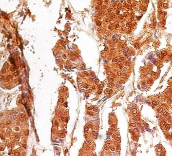 Caspase 3 (active/pro) Antibody (MA1-91637) in Immunohistochemistry (Paraffin)