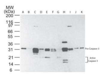 Caspase 3 (active/pro) Antibody (MA1-91637) in Western Blot
