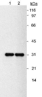 NQO1 Antibody (MA1-91897) in Western Blot