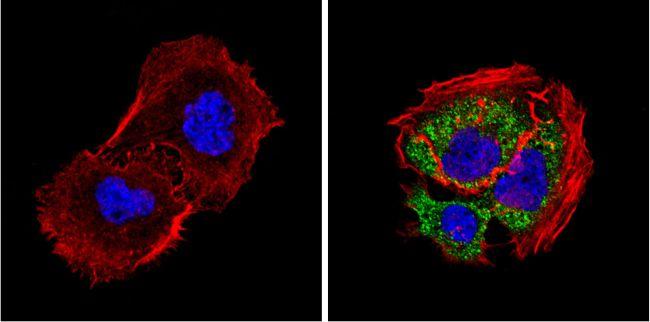 DIABLO Antibody (MA1-936) in Immunofluorescence
