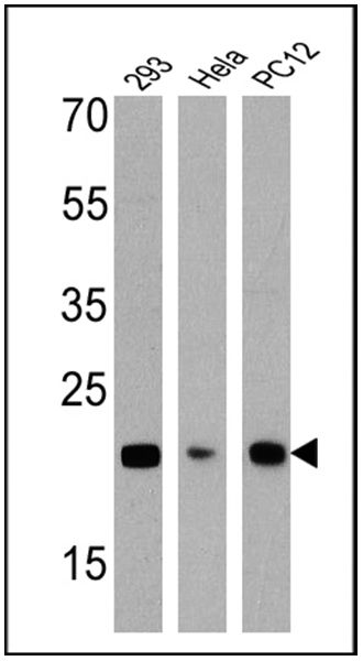 DIABLO Antibody (MA1-936) in Western Blot