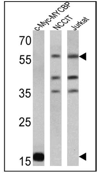 c-Myc Tag Antibody (MA1-980-HRP)