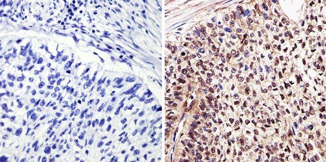c-Myc Tag Monoclonal Antibody (9E10)