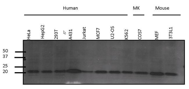 Pan Ras Antibody (MA1-012X) in Western Blot