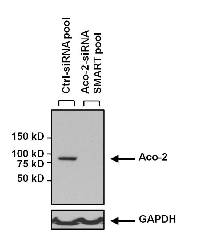 Aconitase 2 Antibody (MA1-029X) in Western Blot
