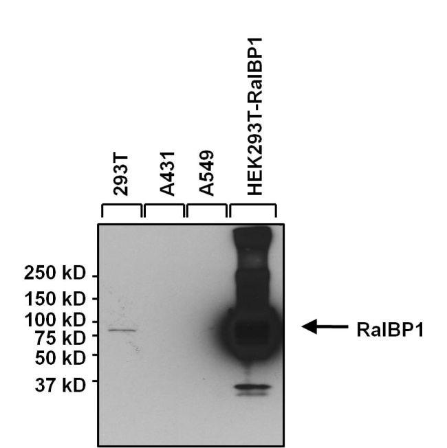 RALBP1 Antibody (MA1-035X)