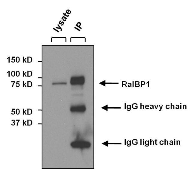 RALBP1 Antibody (MA1-035X) in Immunoprecipitation