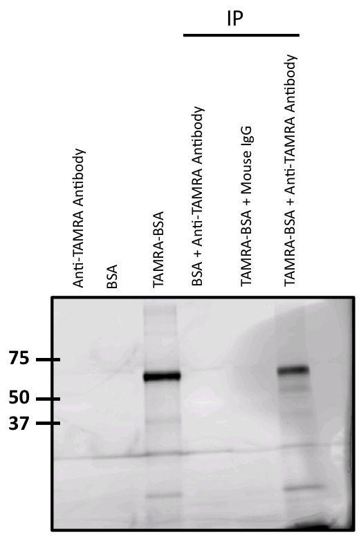 TAMRA Antibody (MA1-041) in Immunoprecipitation