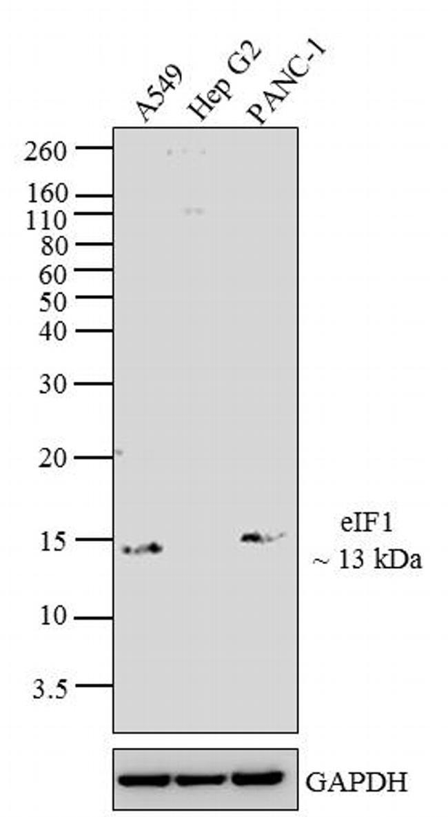 eIF1 Antibody (MA1-077) in Western Blot