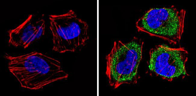eIF1 Antibody (MA1-077) in Immunofluorescence