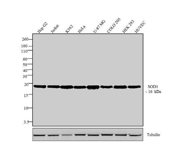 SOD1 Antibody (MA1-105) in Western Blot