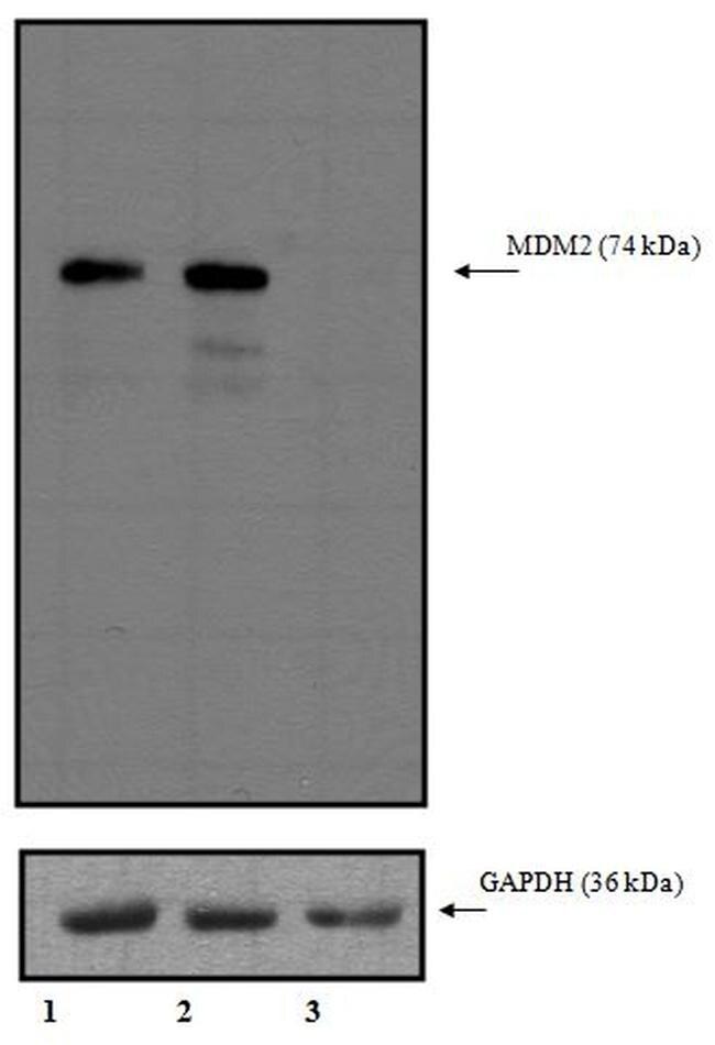 MDM2 Antibody (MA1-113) in Western Blot