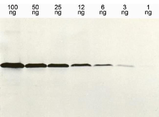 6x-His Tag Antibody (MA1-4806) in Western Blot