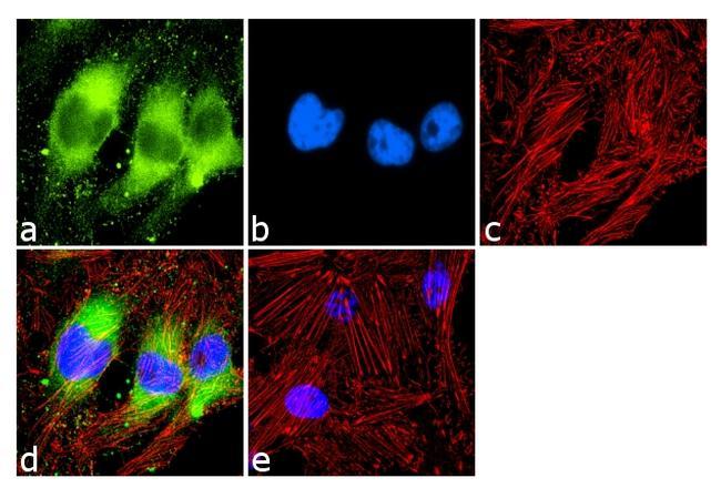 PPAR alpha Antibody (MA1-822) in Immunofluorescence