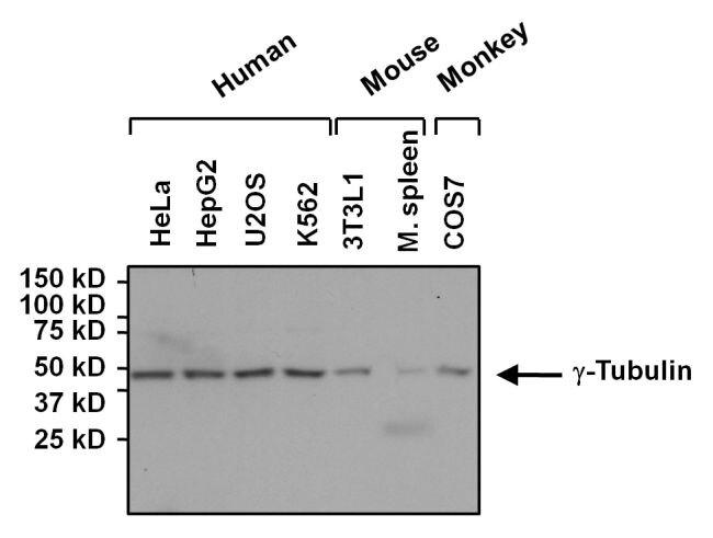 gamma Tubulin Antibody (MA1-850) in Western Blot