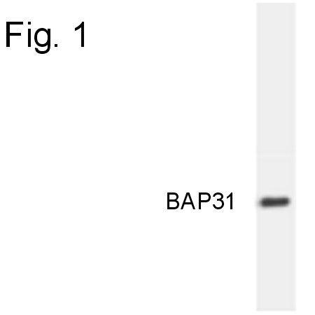 BAP31 Antibody (MA3-003) in Western Blot