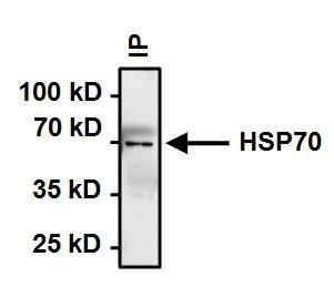HSP70 Antibody (MA3-009) in Immunoprecipitation