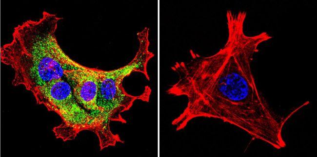 HSP90 alpha Antibody (MA3-010) in Immunofluorescence