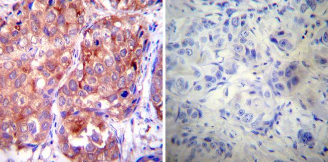 HSP90 alpha Antibody (MA3-010) in Immunohistochemistry (Paraffin)