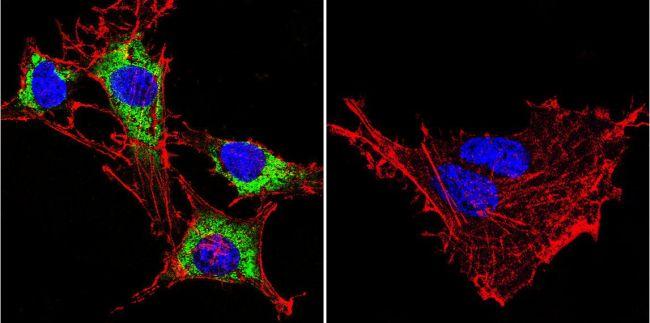 HSP90 alpha Antibody (MA3-011) in Immunofluorescence