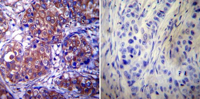 HSP90 alpha Antibody (MA3-011) in Immunohistochemistry