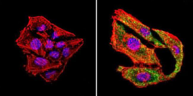 uNOS Antibody (MA3-030) in Immunofluorescence