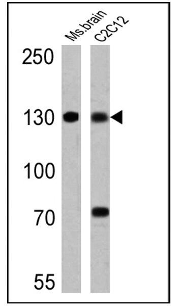 uNOS Antibody (MA3-030) in Western Blot