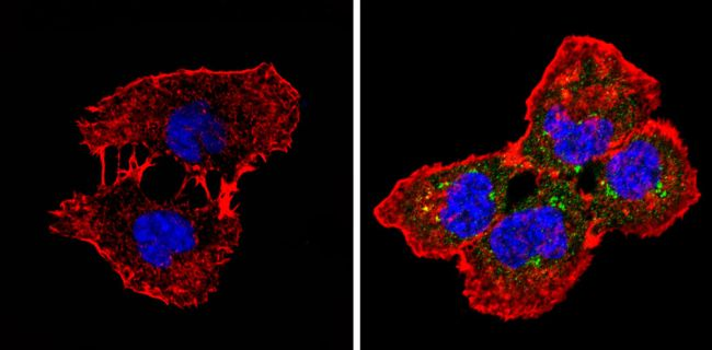 Spectrin beta-1 Antibody (MA3-062) in Immunofluorescence