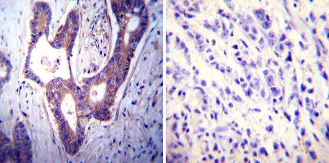 PMCA ATPase Antibody (MA3-914) in Immunohistochemistry