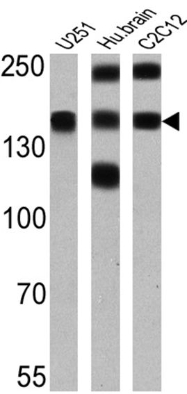 PMCA ATPase Antibody (MA3-914) in Western Blot