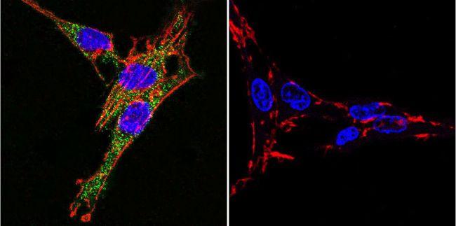 ATP1A3 Antibody (MA3-915) in Immunofluorescence