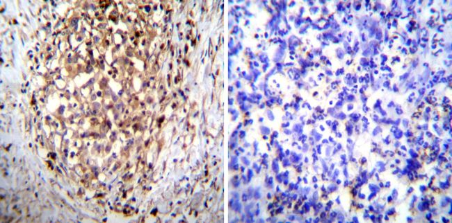 ATP4B Antibody (MA3-923) in Immunohistochemistry