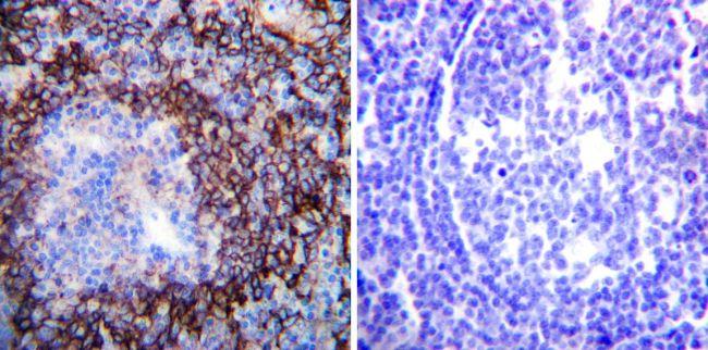 ATP1A1 Antibody (MA3-928) in Immunohistochemistry