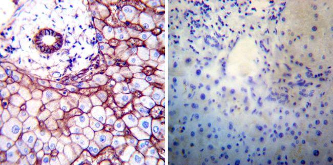 ATP1B1 Antibody (MA3-930) in Immunohistochemistry
