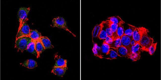 OATP2/OATP8 Antibody (MA3-935) in Immunofluorescence