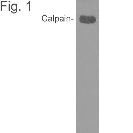 Mu-Calpain Antibody (MA3-941) in Western Blot