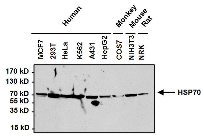 HSP70 Antibody (MA3-006) in Western Blot