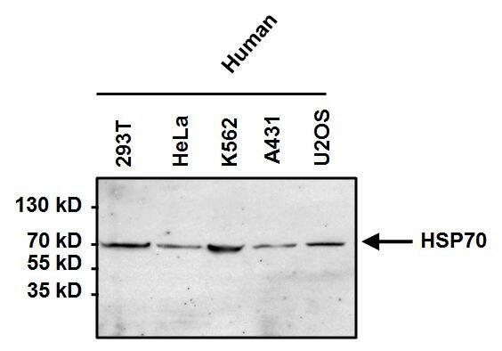 HSP70 Antibody (MA3-007) in Western Blot