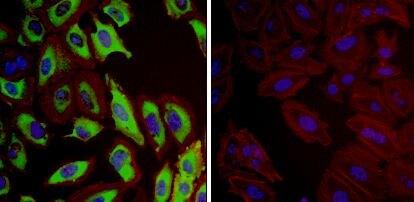 HSP27 Antibody (MA3-015) in Immunofluorescence