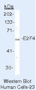 E2F4 Antibody (MA5-11276) in Western Blot