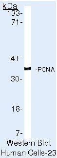 PCNA Antibody (MA5-11358) in Western Blot