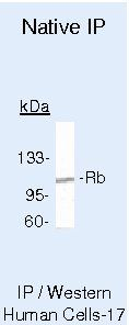 Rb Antibody (MA5-11384) in Immunoprecipitation