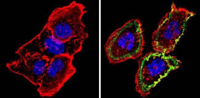 Thrombomodulin Antibody (MA5-11454)